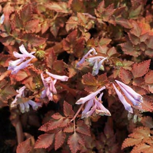 Хохлатка CORYDALIS Chocolate star