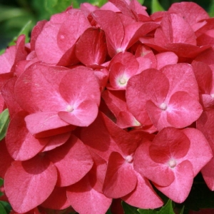 Гортензия macrophylla Hot Red